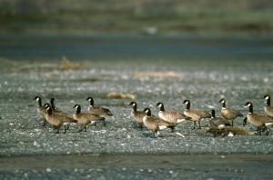 Aleut, Kanada kazlar