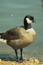 Aleut, Kanada kaz, kuş