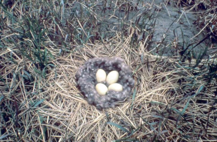 cravant, oiseau, nid, oeufs