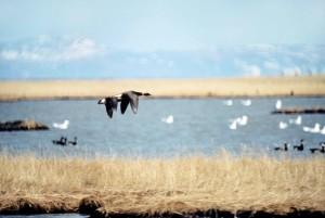 Brant, pássaros, voando