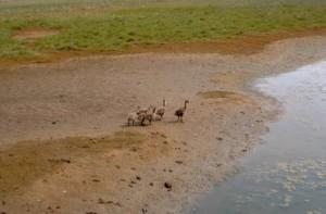 브 랜 트, broods, 모래, 비치