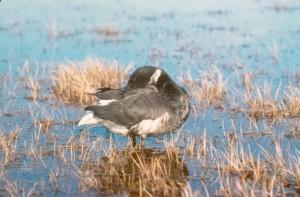 branta bernicla, bird, water