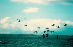 branta bernicla, birds, flight