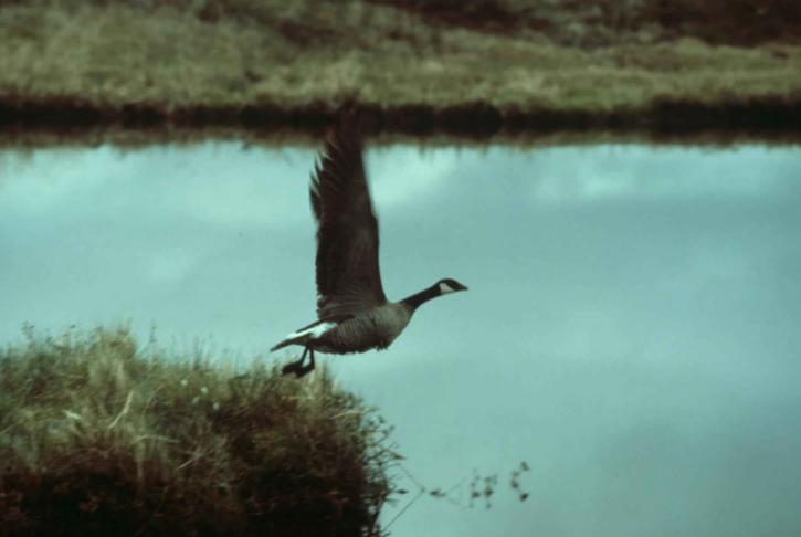 branta canadensis, bird, Canada goose, taking, flight