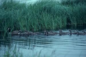 branta canadensis, Canada goose, brood, water