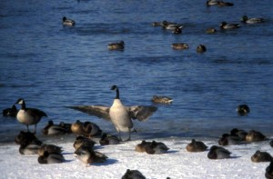 branta canadensis, Canada goose, mallards