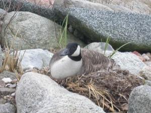 Branta canadensis, nido, uccelli acquatici, uccello