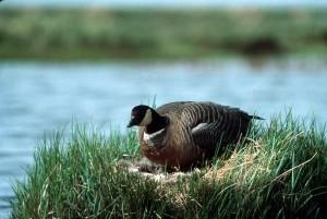 cackling, Canada goose, nest