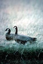 cackling, Canada goose, pair