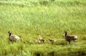 Canada geese, brood