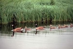 Bernaches du Canada, oisons, nager, ligne, eau