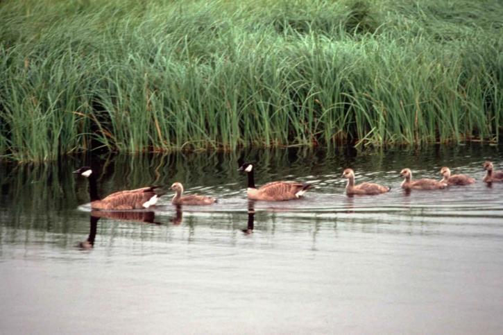 Canada geese, goslings, swim, line, water