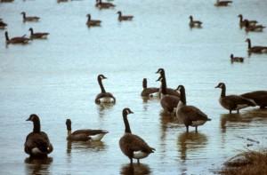 canada, geese, Ohio, wetland area
