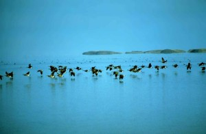 Canada geese, fly, low, water, branta canadensis, birds