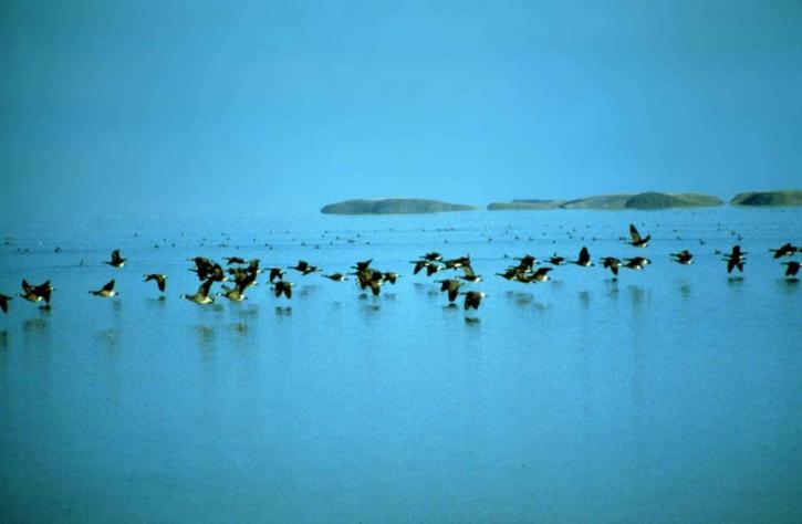 Canada oche, volare, basso, acqua, Branta canadensis, uccelli