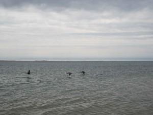 カナダのガチョウ、飛んで、海