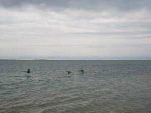 Bernaches du Canada, vol, océan