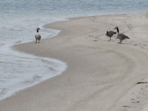 Canada geese, beach, monomoy, wilderness, refuge