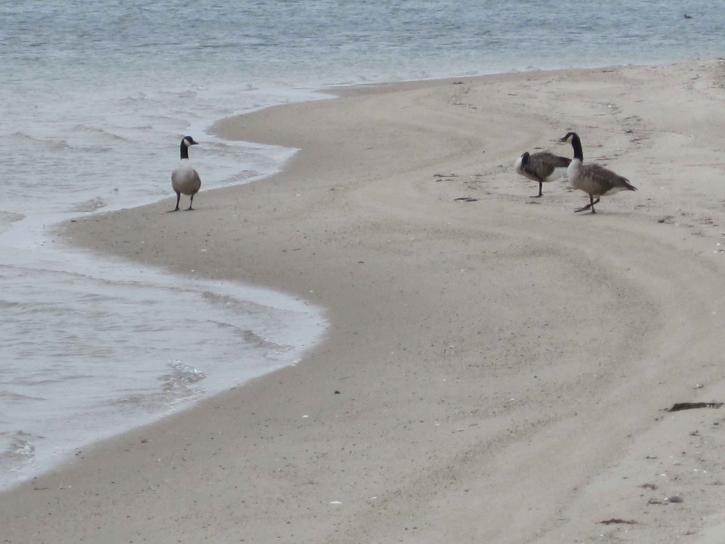 Husy, pláž, monomoy, divočina, útočiště