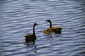 Canada geese, chicks, branta canadensis