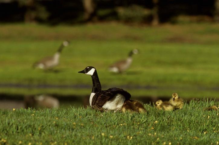 Канада гъски, младите