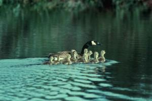 Канада гъска, поколение, езеро