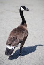 Канада гъски, гъски, езерото, закрепване