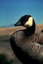 Canada goose, bird, portrait, branta canadensis