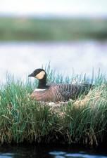 Ganso de Canadá, birdd, nido