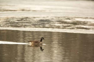 Канада гъска, плуване