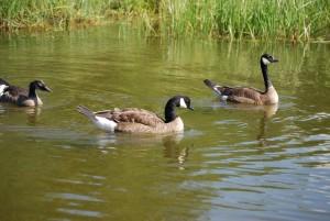 Канадска гъска, трио, птици