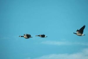 Канадска гъска, трио, полет, branta canadensis