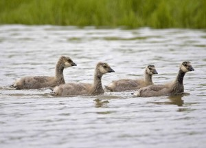 Kanada, goslings, air, branta hutchinsii, minima