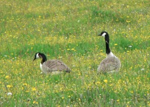 canadian, geese