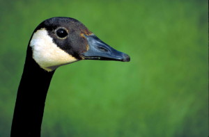 up-close, hoved, Canada goose, fugl