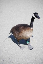 up-close, Canada goose, vandfugle, fugl