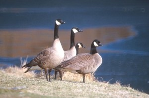 four, Canada geese, stand, water