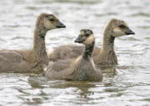 Gosling, cacareo, ganso de Canadá