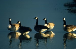 skupiny, Kanada geese, tešiť, ráno
