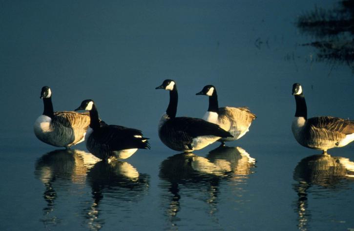 grupo, gansos de Canadá, disfrutar, por la mañana