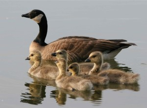 lesser, Canada geese, female, bird, brood, swimming, water, branta canadensis