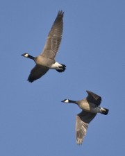 menor medida, Canadá gansos, vuelo, aves, canadensis del branta