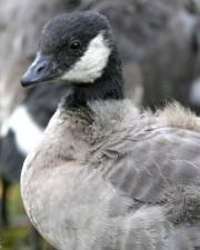 linienie, gdakanie, Kanada gęś, ptak, branta hutchinsii