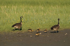 two, Canada geese, five, goslings, walk, grassy, area