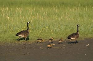 dos, gansos de Canadá, cinco, ansarnes, a pie, cubierta de hierba, superficie