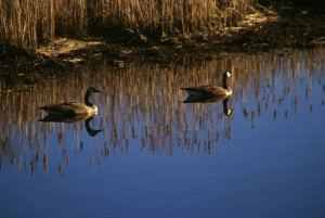 two, Canada geese, water