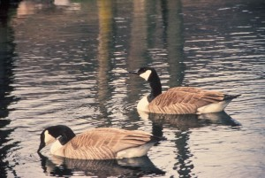 two, Canada geese, photoed, taking, swim