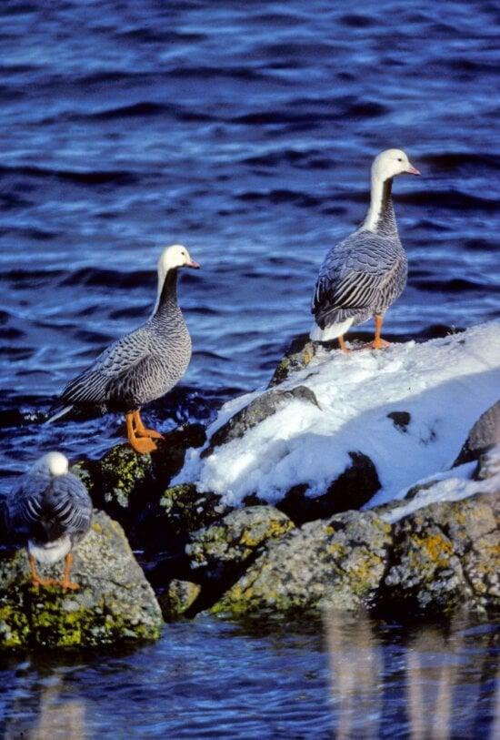 emperor, geese, birds, winter, habitat, chen canagica
