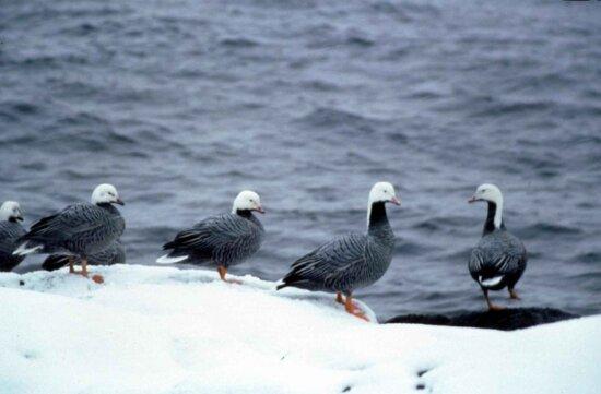 emperor, geese, chen canagica