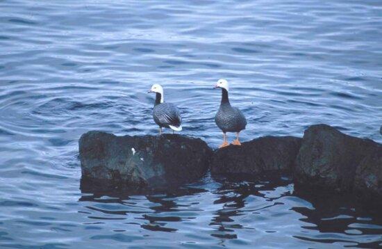 emperor, geese, rock, chen canagica, birds